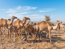 Dromedary-keepers (Camelus Dromedarius) With Doromedar On A Watering Place In The Jabal Qara (Jebel Qara) Mountains Sultanate Of Oman
