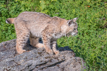 Bobcat Perched Atop Boulders Near The Edge Of The Woods
