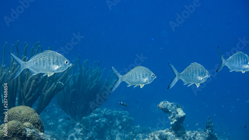Seascape of coral reef in the Caribbean Sea around Curacao with school  of fish Canvas Print
