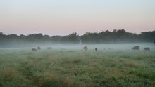 Cattle On A Foggy Morning In A Rich Green Pasture