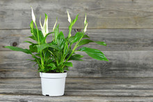 Peace Lily Flower In Pot On Wo...