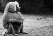 Hamadryas Baboon Profile Look In Monochrome