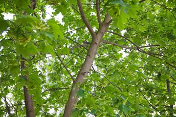 Dąb - Pień drzewa gałęzie i liście