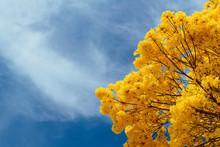 Golden Trumpet Tree Under A Bl...