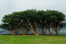 Trees Outside Of The USS Midway In San Diego, CA