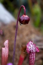 Sydney Australia, Sarracenia P...