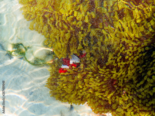 Fotomural  clown fishes in their host anemone at Surin islands national park, Phang Nga