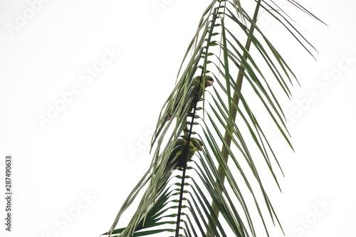 Canvas Prints Palm tree Maritacas nas folhas das Palmeiras