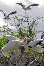 Wood Storks Nesting In Cypress...