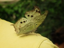 Big Yellow Butterfly With Black Dots On Yellow T-shirt