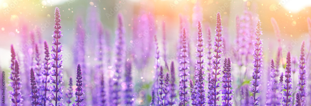 Fototapety, obrazy: purple flowers of decorative sage field. Beautiful flowers background. Bumbleberry Salvia, Woodland Sage, Salvia Nemorosa in sunlight. Gentle artistic toned flower backdrop for design. soft focus