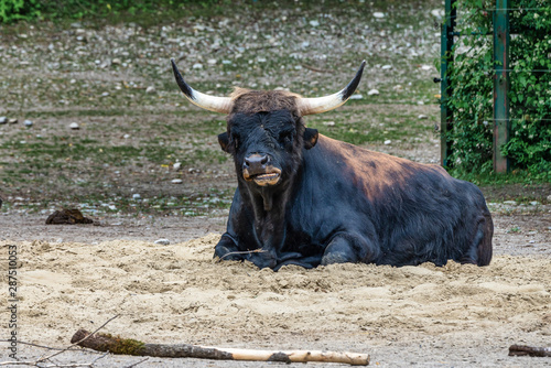 Valokuva  Heck cattle, Bos primigenius taurus or aurochs in the zoo