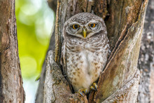 Beautiful Collared Owlet