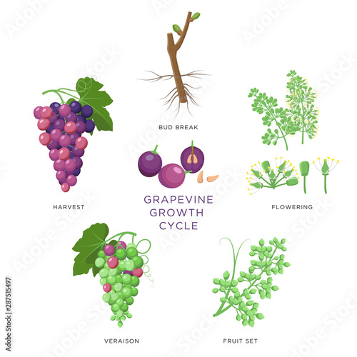 Grapevine growth infographic elements isolated on white, flat design set Wallpaper Mural