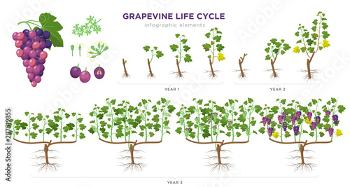 Fotografía  Grapevine growing stages infographic elements in flat design