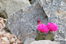 Two Pink Flowers Of Cactus Pri...