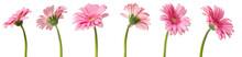 Fleurs De Gerbera Roses, Différentes Vues Sur Fond Blanc