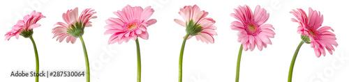 Papiers peints Gerbera fleurs de Gerbera roses, différentes vues sur fond blanc