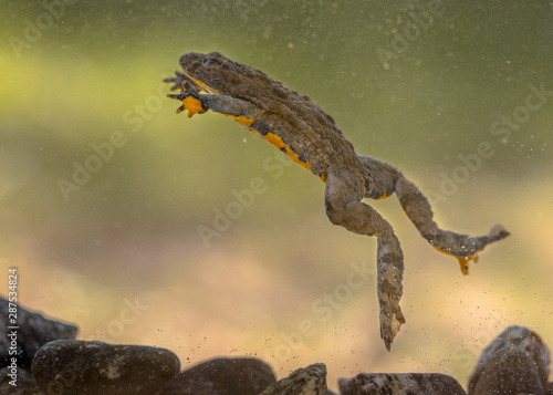 Submersed swimming Yellow bellied toad Wallpaper Mural