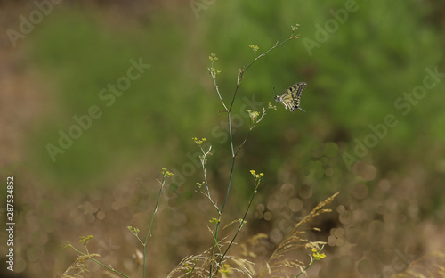 Fotografie, Obraz swallowtail butterfly ; Papilio machaon