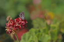 Geranium Zebra Butterfly ; Cac...