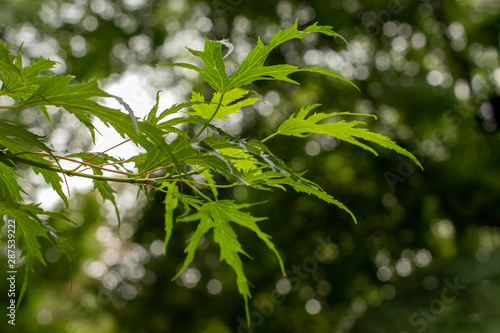 Young silver maple foliage natural background, Acer saccharum Canvas Print