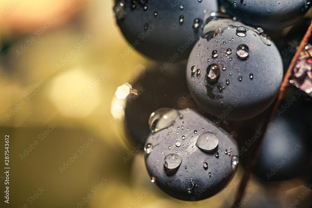 Fototapety, obrazy: Close up beautiful fresh blue grape grains background. Macro view.