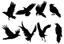 Set Of Ravens. A Collection Of Black Crows. Silhouette Of A Flying Crow. Vector Illustration Of Ravens Silhouette. Grunge Bird Tattoo.