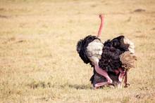 Animal Wildlife. Ostriches Making Love. Masai Mara National Park, Kenya, Africa.