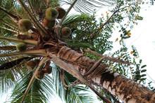 Coconut Tree On Khone Island (laos)