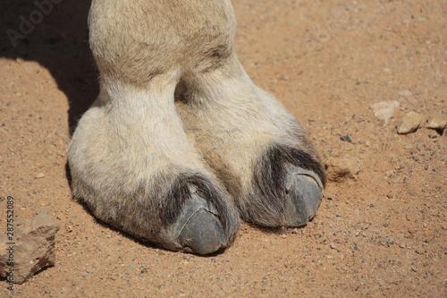 Photo Huf von einem Kamel, typischer Fuß eines Paarhufers, Hintergrund Sand