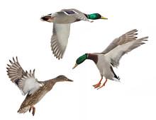 Isolated Three Mallard Ducks In Flight