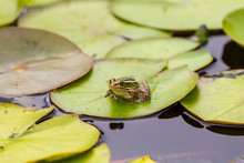 Leopard Frog On Water Lily Lea...