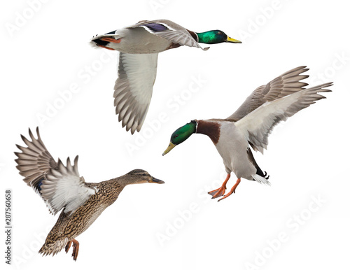 Photo isolated three mallard ducks in flight