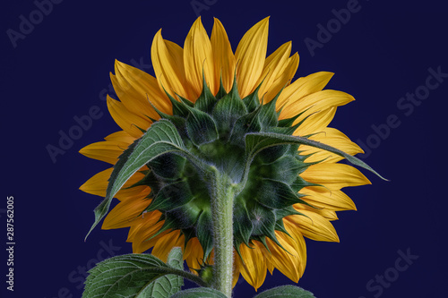 Fotografie, Obraz  Yellow sunflower back side macro,leaves,bud,on blue background