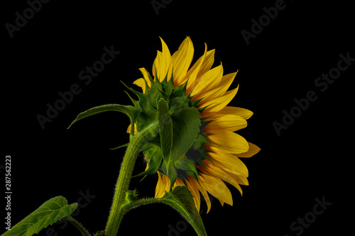 Fotografie, Obraz  Yellow sunflower back side macro,leaves,bud,stem, on black background