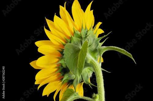 Fotografie, Obraz  Bright yellow sunflower back side macro,leaves,bud,stem, on black background