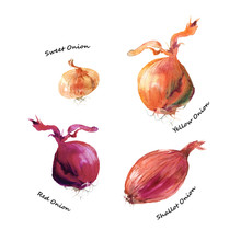 Different Types Of Onion. Shal...