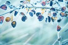 Last Dry Yellow Leaves In Hoar...