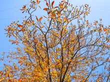 Horse-chestnut With Orange And...