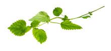 Green Twig Of Lemon Balm Plant...