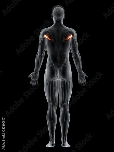 Fototapeta 3d rendered muscle illustration of the teres major