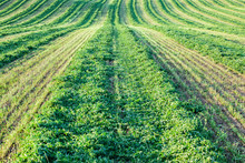 Looking Down A Windrow Of Cut Alfalfa Hay.