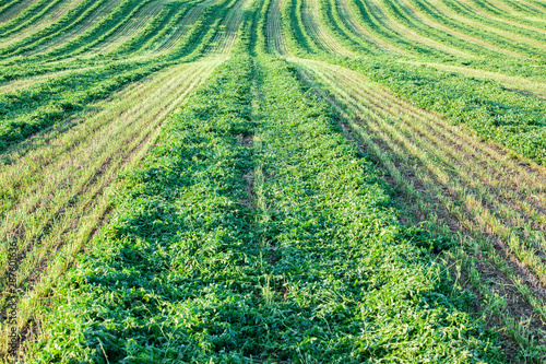 Looking down a windrow of cut alfalfa hay. Canvas Print