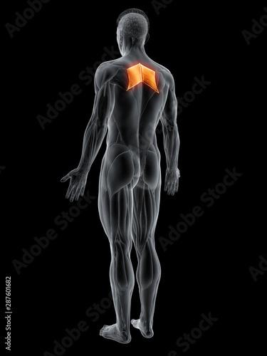 Obraz na plátně 3d rendered muscle illustration of the rhomboid major
