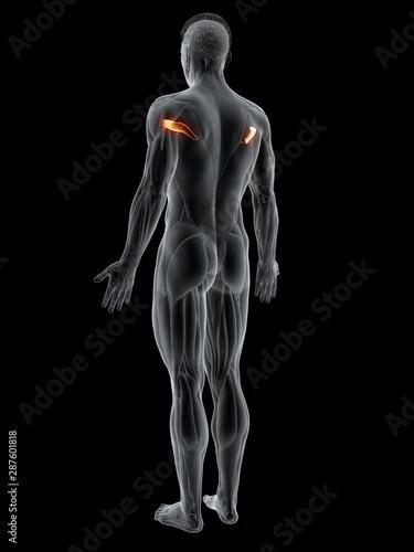 Fotografie, Tablou  3d rendered muscle illustration of the teres major