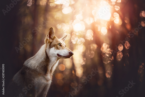 Spoed Fotobehang Wolf Saarloos wolfdog in a forest with bokeh