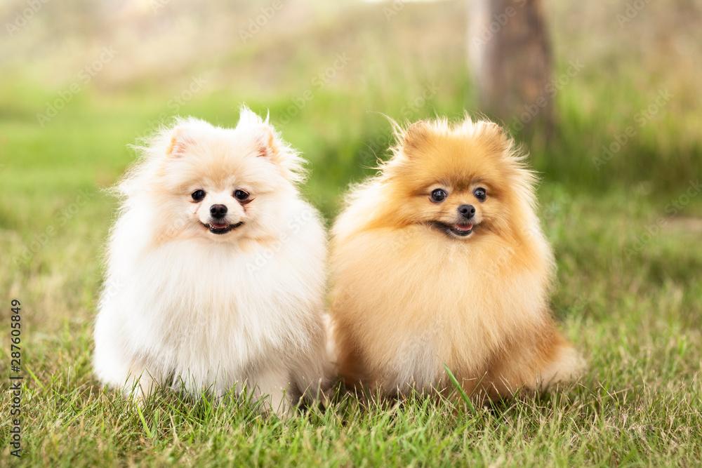 Fototapety, obrazy: two Zverg Spitz, Pomeranian puppies