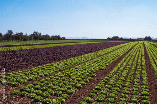 Fotografia cultivated field of green lettuce on the sandy soil in summer