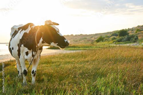 Cuadros en Lienzo Spotted cow grazes in a meadow near the sea